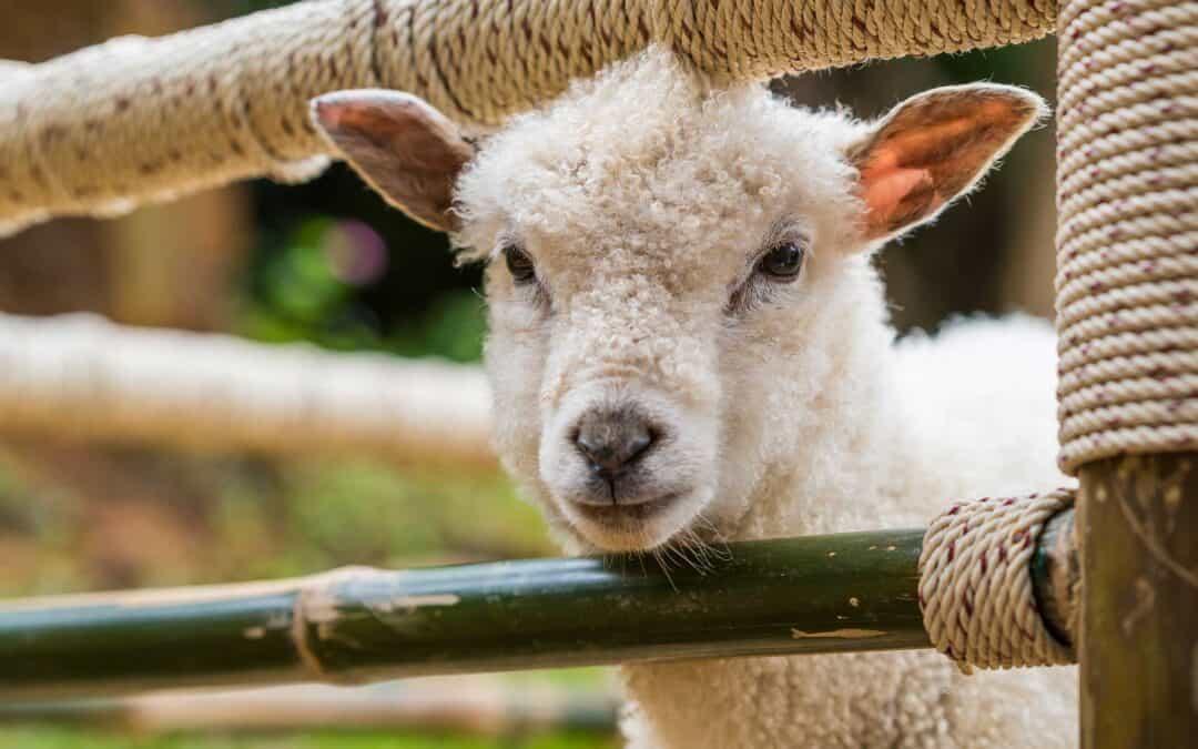 Like a Lamb (February 17)